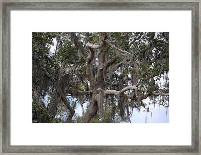 Spanish Moss On Live Oaks Framed Print by Michele Kaiser