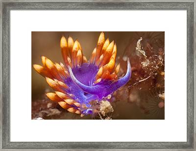 Spanish Shawl Nudibranch Framed Print
