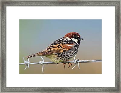 Spanish Sparrow On Barbed Wire Framed Print by Bildagentur-online/mcphoto-schaef