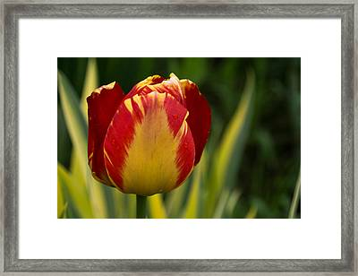 Sparkles And Warmth - A Red And Yellow Tulip In The Spring Rain Framed Print by Georgia Mizuleva