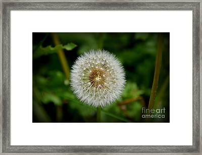 Framed Print featuring the photograph Sparkling Dandelion by Debra Martz