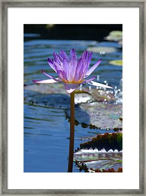 Sparkling Purple Water Lily Framed Print