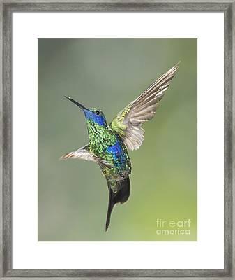 Sparkling Violet-ear Hummingbird Framed Print by Dan Suzio