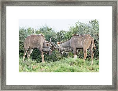 Sparring Kudu Bulls Framed Print by Peter Chadwick