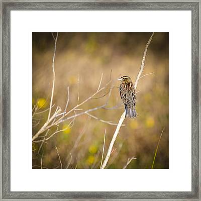 Sparrow In Marshland Framed Print by Carolyn Marshall