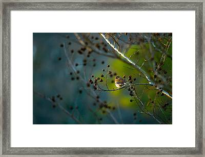 Sparrow In The Warm Light Framed Print by Shelby  Young