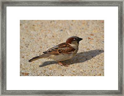 Framed Print featuring the photograph Sparrow by Mary Zeman