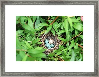 Sparrow Nest With A Cowbird Egg Framed Print