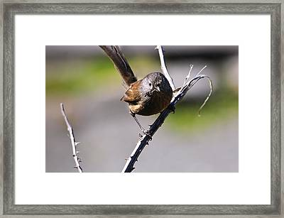 Sparrow On A Branch Framed Print