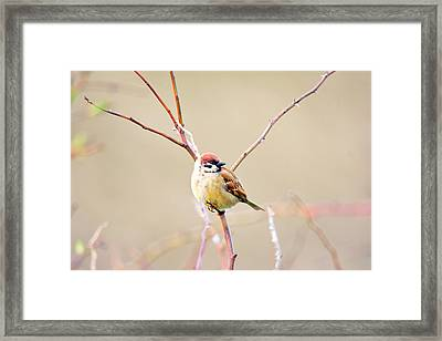 Sparrow On Branch  Framed Print by Tommytechno Sweden