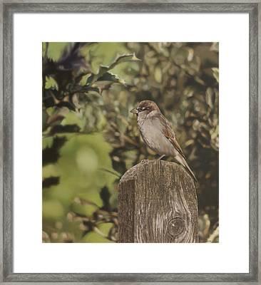 Sparrow On Fence Framed Print by Alberto Ponno
