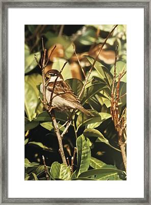 Sparrow On The Branch Framed Print by Alberto Ponno