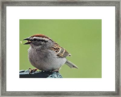 Sparrow Snack Framed Print by Dan Sproul