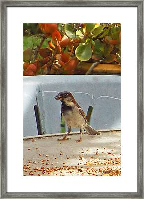 Sparrow's Breakfast Framed Print by Fred Jinkins