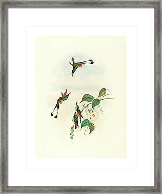Spathura Rufocaligata Red-booted Racket Tail Framed Print