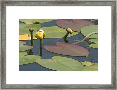 Spatterdock Heart Framed Print