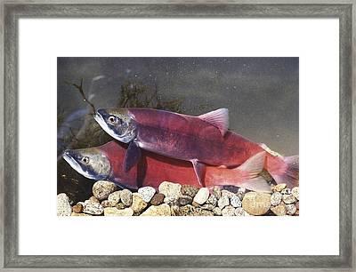 Spawning Kokanee Salmon Framed Print