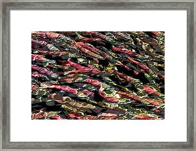 Spawning Salmon Framed Print by Jim Thompson