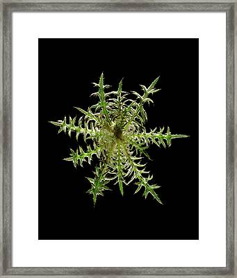 Spear Thistle (cirsium Vulgare) Framed Print by Gilles Mermet