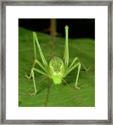 Speckled Bush Cricket Framed Print by Nigel Downer