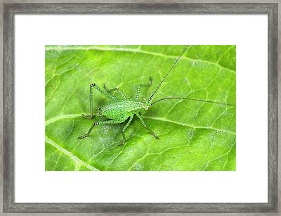 Speckled Bush Cricket Nymph Framed Print by Nigel Downer