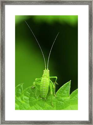 Speckled Bush-cricket Nymph Framed Print by Science Photo Library