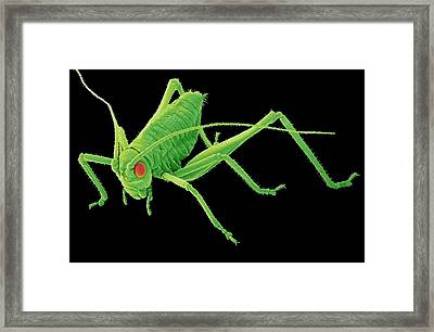Speckled Bush-cricket Nymph. Sem Framed Print by Steve Gschmeissner