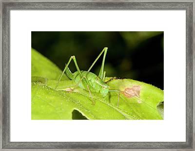 Speckled Bush-cricket On Corncockle Framed Print