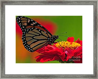 Framed Print featuring the photograph Speckled Monarch by Olivia Hardwicke