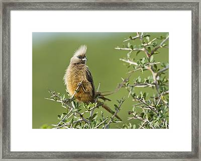 Speckled Mousebird Framed Print by Science Photo Library