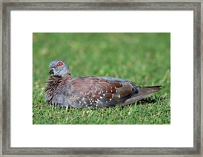 Speckled Pigeon Framed Print by Peter Chadwick/science Photo Library