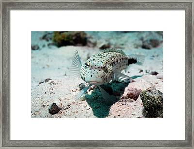 Speckled Sandperch Framed Print by Georgette Douwma