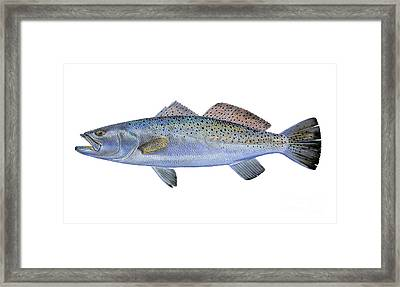 Speckled Trout Framed Print by Carey Chen