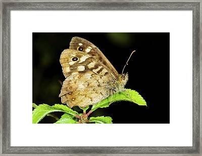 Speckled Wood Butterfly Framed Print by John Devries/science Photo Library