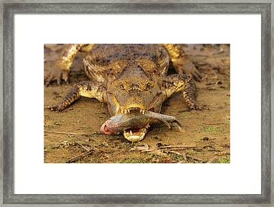 Spectacled Caiman With Piranha Framed Print by M. Watson