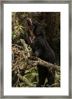 Spectacled Or Andean Bear (tremarctos Framed Print by Pete Oxford