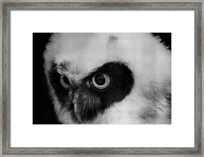 Spectacled Owl Framed Print by Simon Gregory