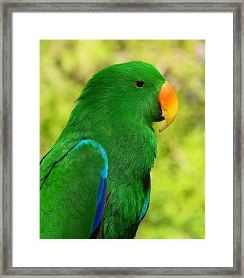 Spectacular Eclectus Parrot Framed Print