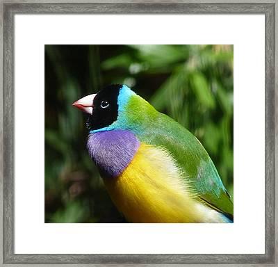 Spectacular Gouldian Finch Framed Print
