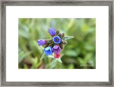Spectacular Spiderwort Framed Print by Deborah Smolinske