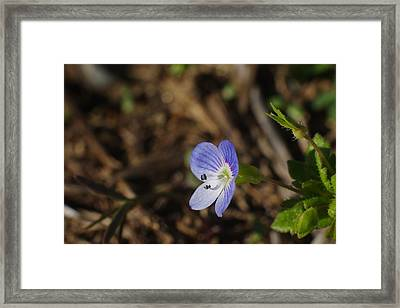 Speedwell Framed Print by Billy  Griffis Jr