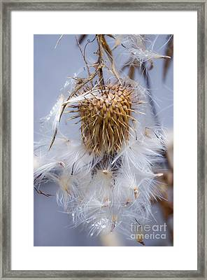 Spent Thistle Framed Print