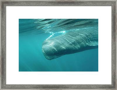 Sperm Whale Framed Print by Christopher Swann