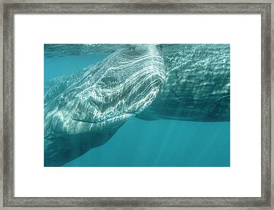Sperm Whales Framed Print by Christopher Swann