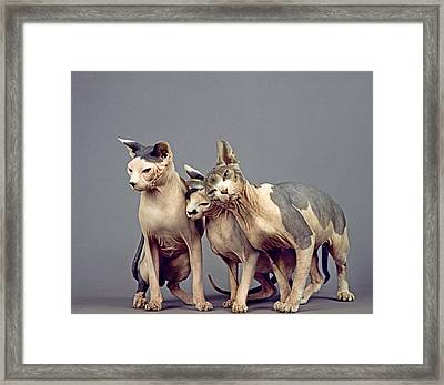 Sphinx Domestic Cat Framed Print by Gerard Lacz