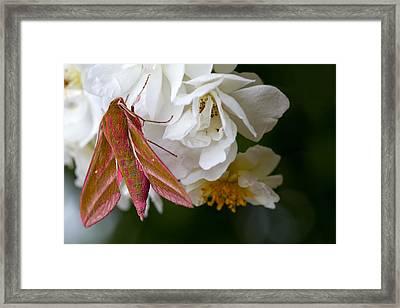 Sphinx Moth On A Rose Framed Print by Mr Bennett Kent