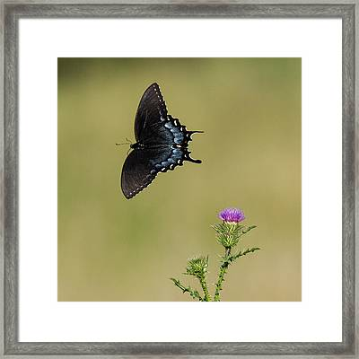 Spicebush Swallowtail 2 Framed Print by David Lester