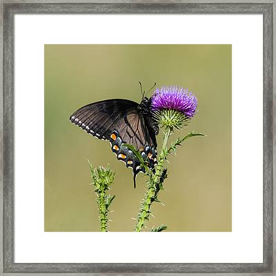 Spicebush Swallowtail 3 Framed Print by David Lester