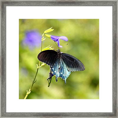 Spicebush Swallowtail Butterfly In Pastel Framed Print by Suzanne Gaff