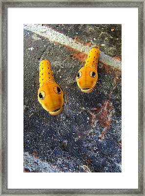 Spicebush Swallowtail Caterpillars Framed Print by Carolyn Fletcher